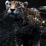 Christine-Ferdinand--Jaguar