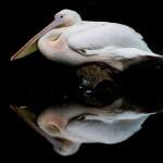 Christine-Ferdinand--Pelican