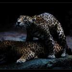 Christine-Ferdinand--Jaguars