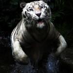 Christine-Ferdinand--White-Tiger